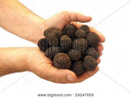 Hands full of black truffles poster