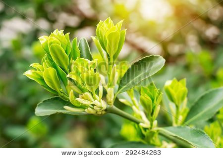 Close-up of spring sprouts of evergreen boxwood on a blurred green background on a sunny day. Nature and botany, natural evergreen plants for garden decoration. poster