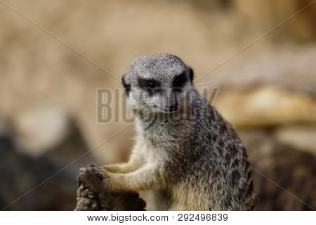 Portrait Of A Wild African Meerkat (suricatta). Photography Of Nature And Wildlife.
