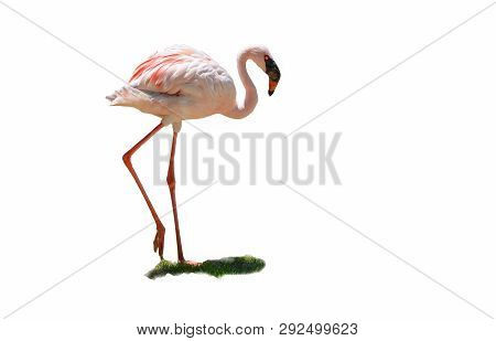 White Pink Greater Flamingo Big Bird Walking Isolated On White Background