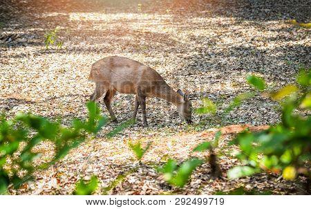 Female Eld's Deer Eating Grass In The Wildlife Sanctuary / Thamin Deer