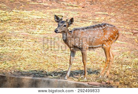Young Spotted Deer In The Wildlife Sanctuary / Other Names Cheetal - Axis Deer