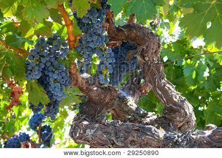 Ripe Zinfandel Grape Clusters On Gnarly Old Grape Vine