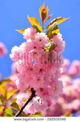 Cherry Blossom. Sacura Cherry-tree. Spring Flowers Background. Blossom Tree Over Nature Background.