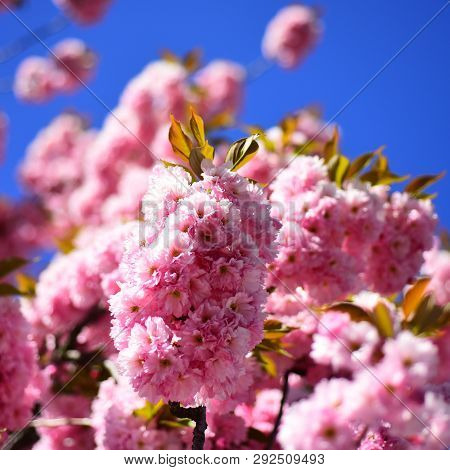 Springtime. Spring Flowers With Blue Background And Clouds. Beautiful Garden Flowers. Cherry Blossom