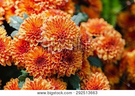 Orange Yellow Flower In Garden. Flower At Sunny Summer Or Spring Day. Flower For Postcard Beauty Dec