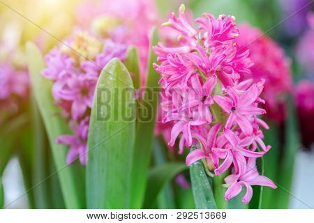 Hyacinth Flower In Garden. Flower At Sunny Summer Or Spring Day. Flower For Postcard Beauty Decorati