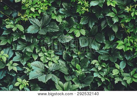Hedge Of Big Green Leaves In Spring. Green Fence Of Parthenocissus Henryana. Natural Background Of G
