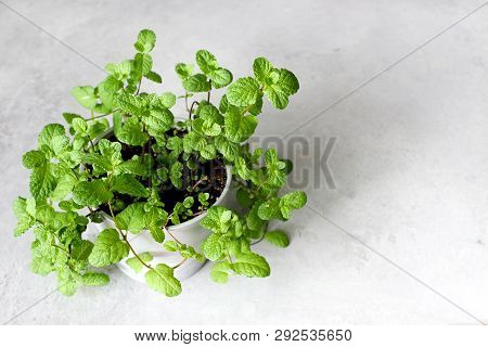 Fresh Mint In Pots On A Gray Background. Copy Space
