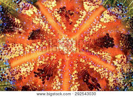 Close-up Of A Fire Urchin (astropyga Radiate). Anilao, Philippines