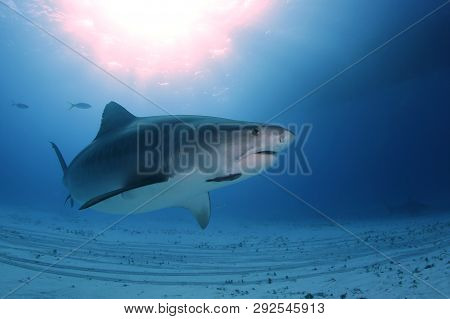Tiger Shark (galeocerdo Cuvier) Swimming By Closely, With Sun Bursts Through The Surface. Tiger Beac