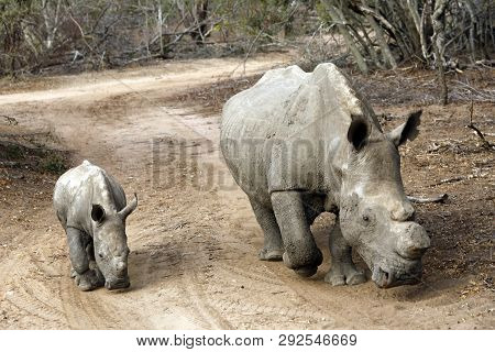White Rhino (ceratotherium Simum) With Calf, On Dirt Road. Modlito Game Reserve, Kruger Park, South
