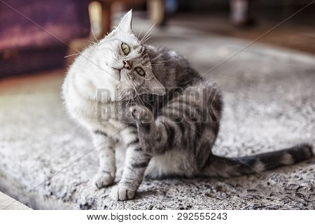 American Shorthair Cat Is Scratching,a Beautiful American Cat, Cats Are Scratching Ticks.