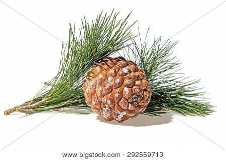 Cedar Pine Cone With Branch Closeup White Background