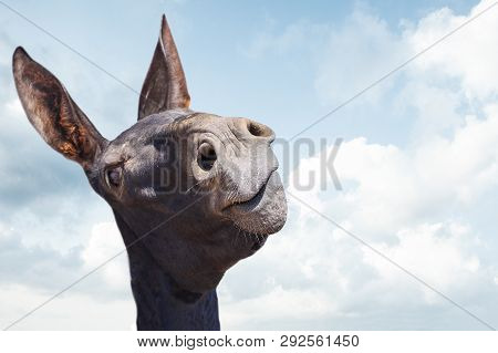 Funny Black Donkey Smiling On Blue Sky