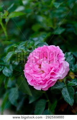 Close Up View Of A Beautiful Pink Rose