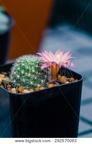 Close Up Flower Of Mammillaria Cactus In Garden.