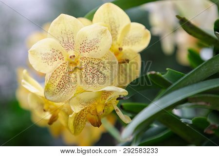 Vanda Orchid. Flower In Garden At Sunny Summer Or Spring Day. Flower For Postcard Beauty Decoration