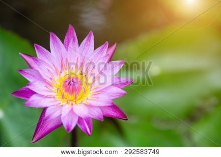 Lotus Flower Or Water Lily Flower Blooming In The Pond. Nymphaea Water Lily. Flower For Postcard Bea