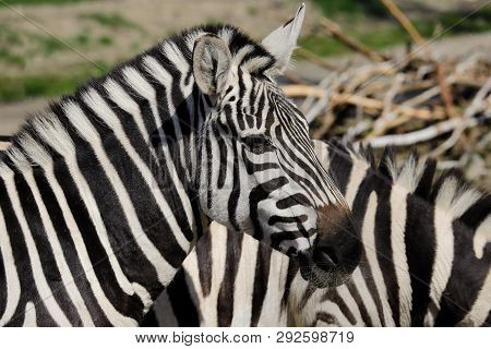 Portrait Of African Striped Coat Zebra. Photography Of Nature And Wildlife.