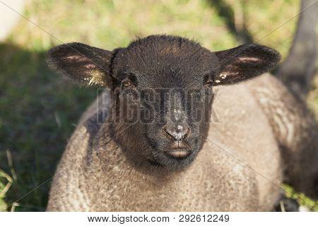 Sheeps In Le Hourdel, Somme, Hauts-de-france, France
