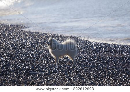 Dog In The Beach, Le Hourdel, Somme, Hauts-de-france, France