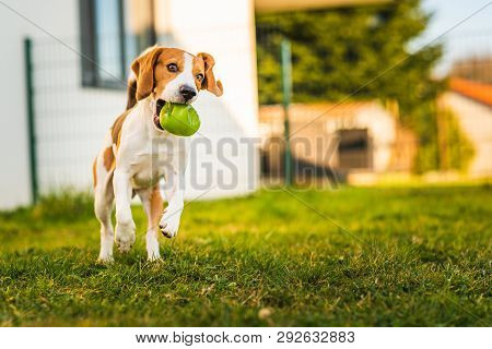 Beagle dog runs in garden towards the camera with green ball. Sunny day dog fetching a toy. Copy space. poster
