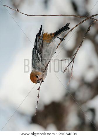 Eating Pine Grosbeak (female)