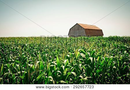 Old Wooden Barn In The Green Summer Cornfield. Rural Quebec.