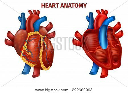 Vector Illustration Of Realistic Human Heart Anatomy. Medical Poster Cardiovascular Organ Outside, I