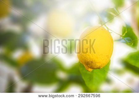 Organic agriculture, Ripe Lemons hanging on tree