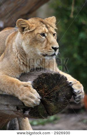 Lion am Baumstamm