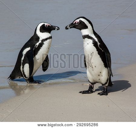 Penguin Pair On The Clean Sand At The Sea Shore