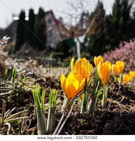 Spring In My Garden. The First Yellow Crocuses And Flying Bee On Sunny Day Sunny Day