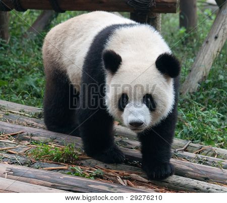 Giant panda bear walking