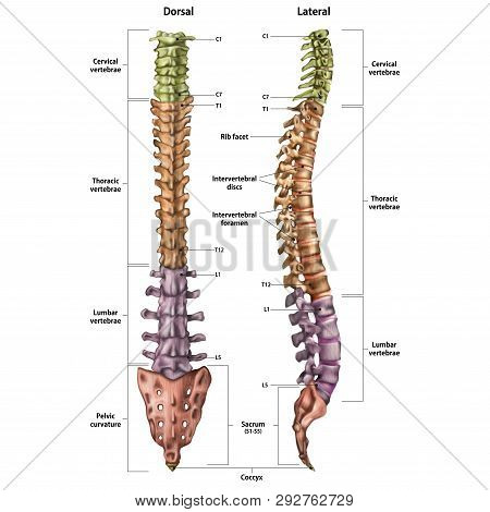Illustration Of The Human Spine With The Name And Description Of All Sites. Lateral And Spinal Views