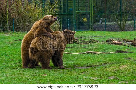 two brown bears together, one on top of the other, common animals in Eurasia, popular zoo animals poster