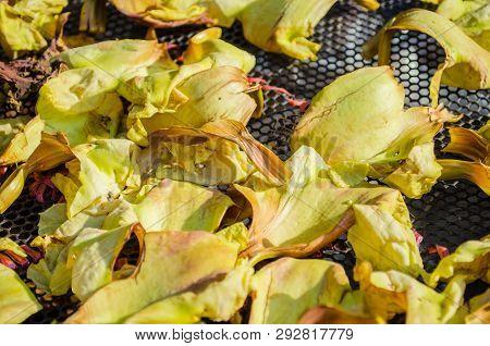 Yellow Vegetable Humming Bird Sesban Agasta Flower