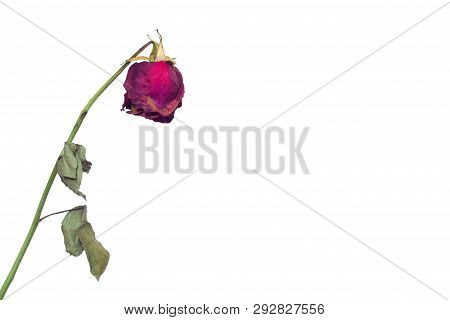 A Faded Rose Flower On A White Background Concept Of Fading Feelings In Love And Impotence In Men An