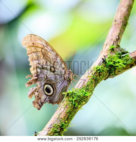 Close-up image of Owl butterfly in a rainforest in Costa Rica