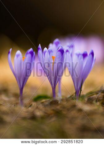 Beautiful Spring Crocus Flowers With Purple Petals. Awakening Nature. Spring Messenger