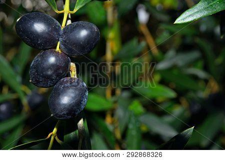 Mature Olives, Olive Tree Fruit, Olive Oil.