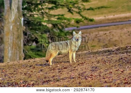 A View Of A Coyote In An Edmonton Park