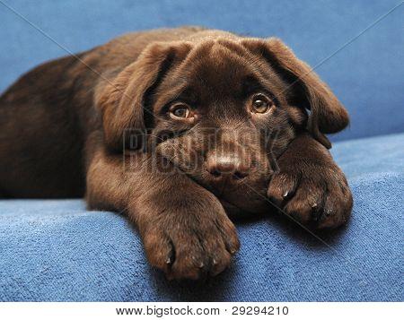 puppy brown