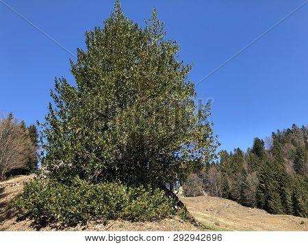 Holly, Common Holly, English Holly, European Holly, Or Occasionally Christmas Holly (ilex Aquifolium
