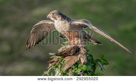 A Peregrine Falcon With Wings Spread Out Perched At The Top Of An Ivy Covered Tree Stump. It Has Cau