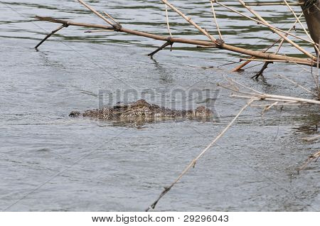 Wild crocodile in a river