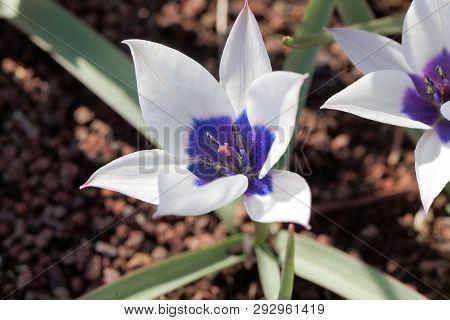 Flower of the wild tulip, Tulipa humilis, from the Caucasian region. poster