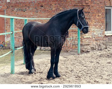 Beautiful Black Thoroughbred Horse In The Pen