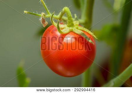 Close Up Of Fresh Raw Organic Cherry Tomato Growing On The Vine
